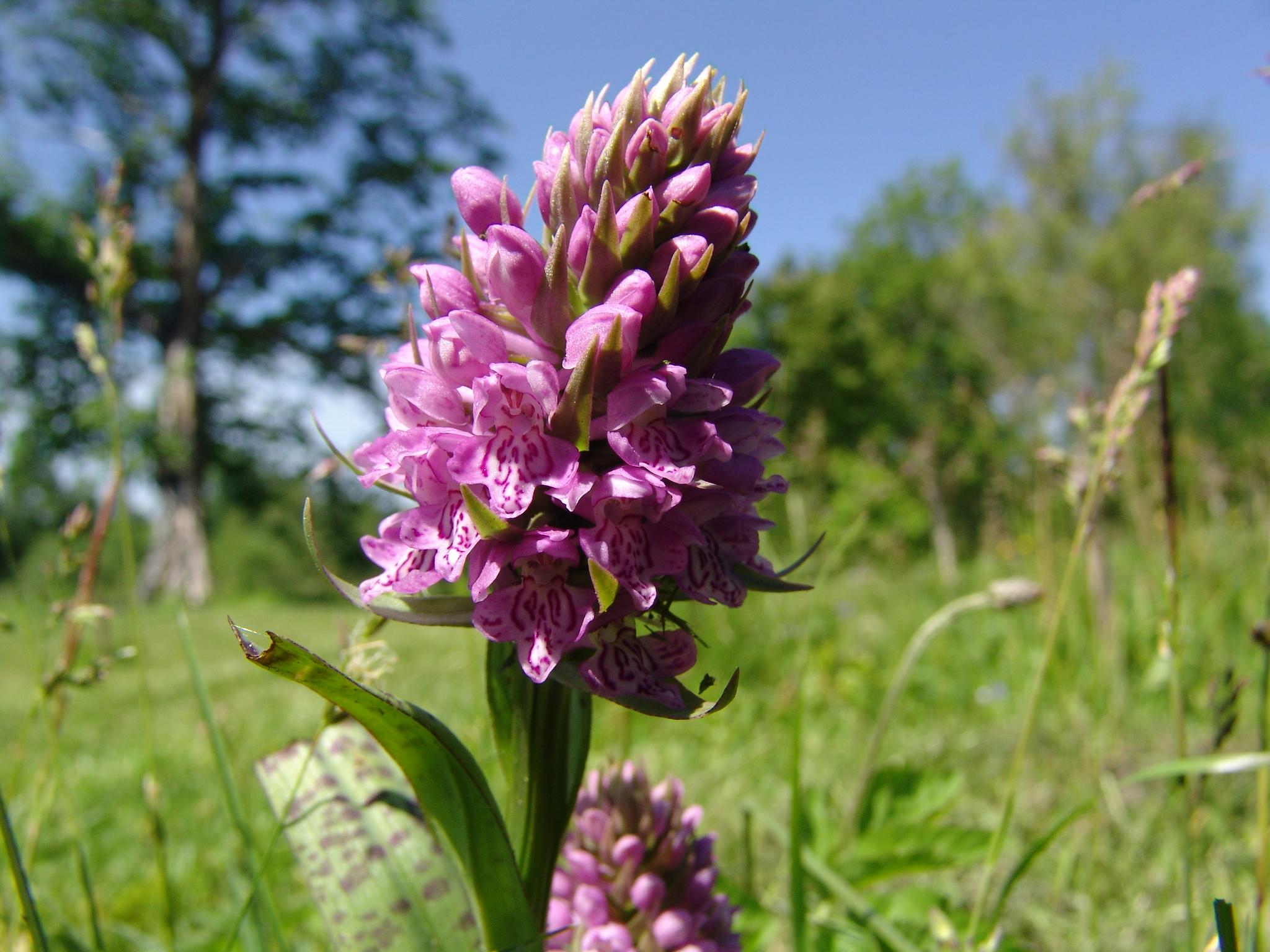 Orhidejas dabas parkā Pape