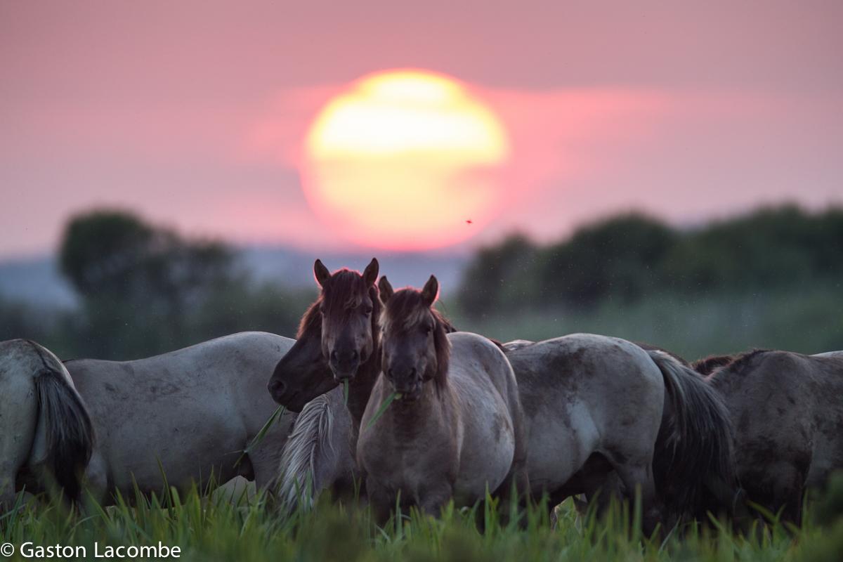 диких лошадей